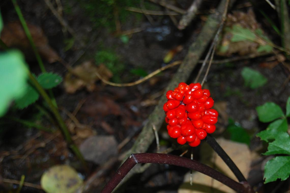 Image Result For Where Does Ginseng Grow In The Woods
