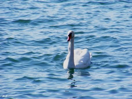 swan in mondsee lake