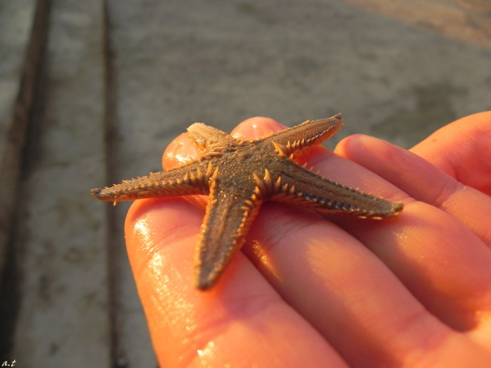 orange seastar, Makarska