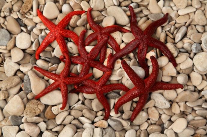 red seastars, Uvala Rapak (Gdinj)