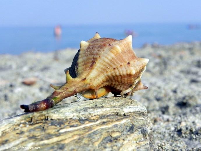 seashell of the Aegean
