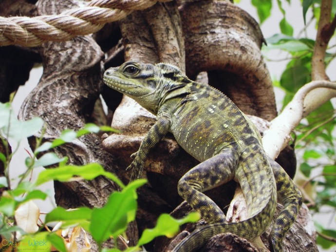 iguanas coexisting with monkeys at Artis Zoo