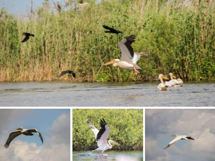 Beautiful Pelicans in the Danube Delta, Romania
