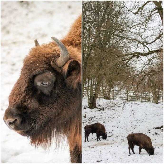Bison Reserve Hateg, Visit Hunedoara County, Romania