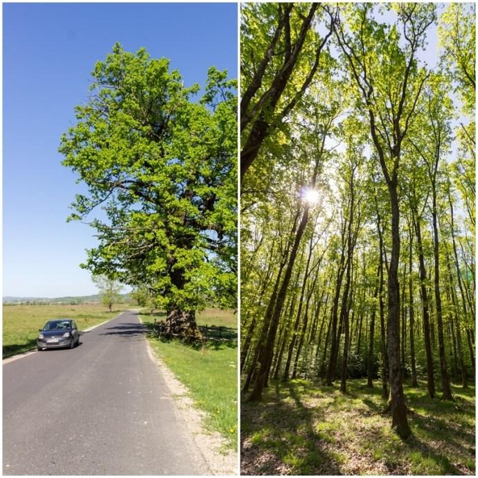 Remetea Oak Tree, Bihor, Western Carpathians, Romania