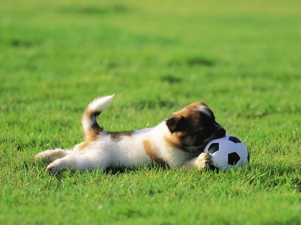 Дрессировка щенка - как научить щенка давать лапу?