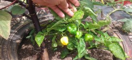 En Lara: Comunidades aportan a los Clap a través de la agricultura urbana
