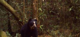 Cámaras trampas siguen registrando Osos Andinos en el Parque Nacional Dinira del estado Lara