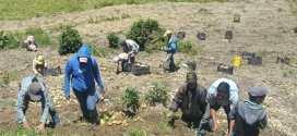 Avanza la producción de semilla bajo control del pueblo en la Comuna Capitán Carmelo Mendoza