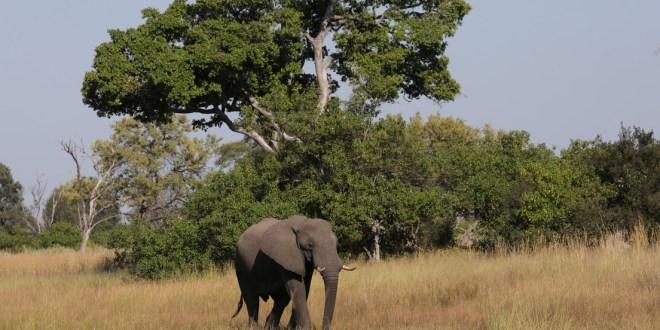 África: Más de 350 elefantes mueren en Botswana y nadie sabe por qué