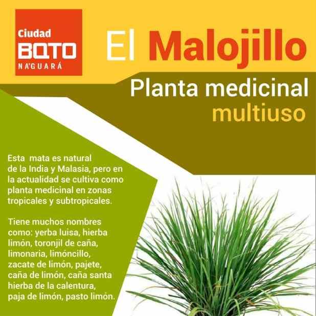 Planta Medicinal Multiuso Conoce Más Acerca De Los Beneficios Del Malojillo Ciudadbqto