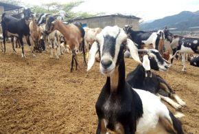 En Lara: Agropecuaria El Triunfo cuenta con 500 animales para impulsar la producción de ovinos y caprinos