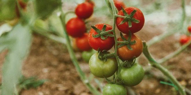 Estudio revela que hay una variedad de tomates que envían señales eléctricas cuando están siendo devorados por las orugas