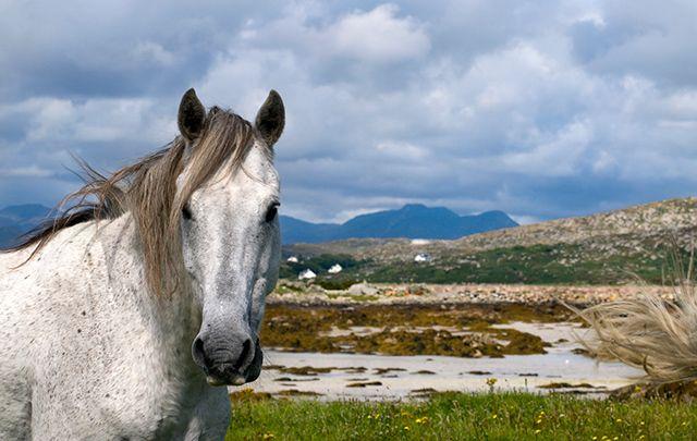 Iconic Connemara pony