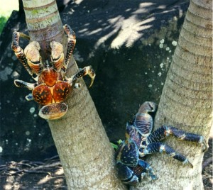 Coconut Crabs from Wikipedia