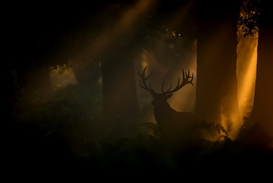 Beautiful autumn light silhouettes a stag.
