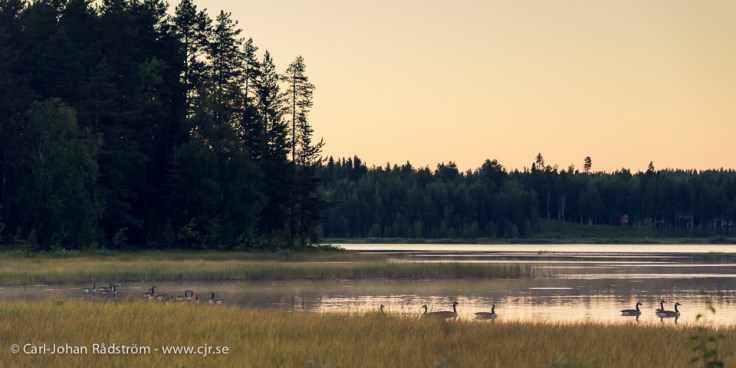 Canada geese's at sunset