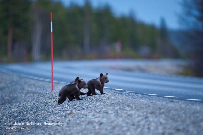 20090508_bear_cubs_0012