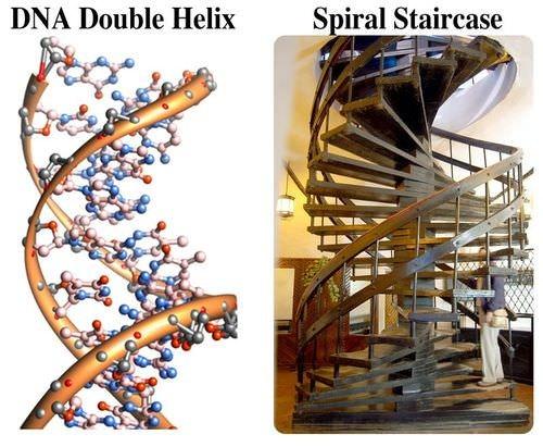 The Dna Double Helix Advanced Ck 12 Foundation | Double Helix Spiral Staircase | Plan | Double Helical | Three Landing Design | Architecture | 1950'S
