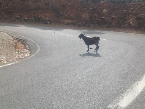... kamikaze koza v akci :) ...