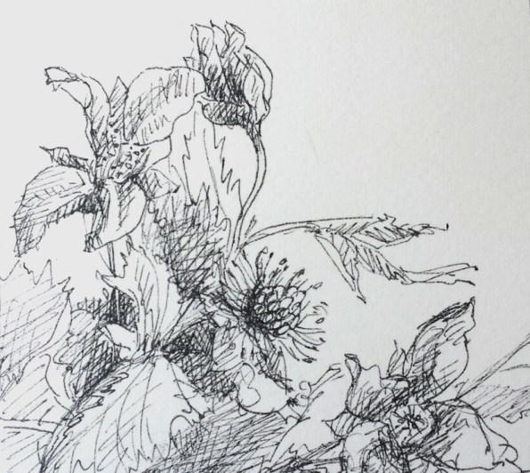Prachtframboos, fineliner in schetsboek, 2017