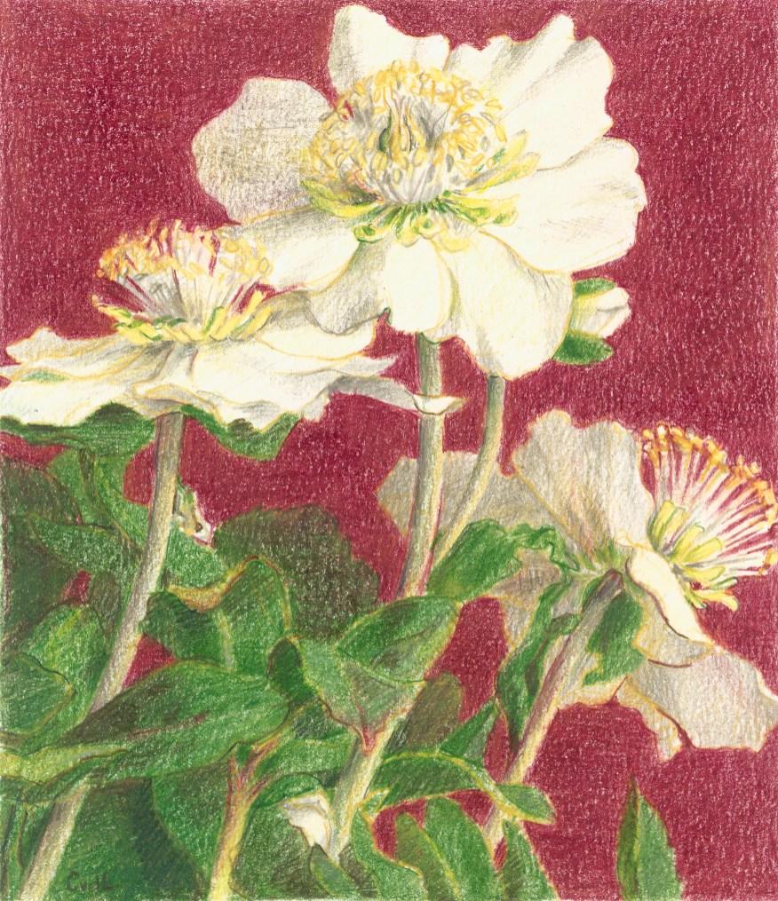 Helleborus, kleurpotlood op papier, 15x13 cm, 2019 [verkocht]