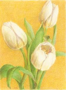 Witte tulpen, kleurpotlood op papier, 15x13 cm, 2019