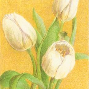 Witte tulpen, kleurpotlood op papier, 15x13 cm, 2019 [verkocht]