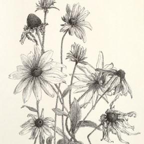 Rudbeckia, fineliner op papier, 28x26 cm, 2019