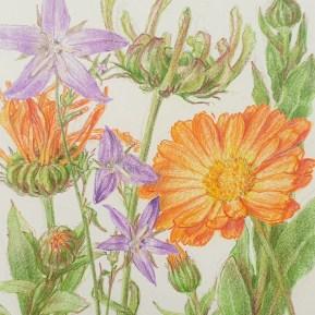Calendula en campanula, kleurpotlood op papier, 12x10 cm, 2020