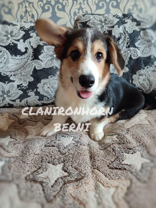 купить щенка вельш корги пемброк CLAN IRONHORN BERNARD SHAW Дата рождения: 31.05.2021  ♂ кобель триколор с хвостом
