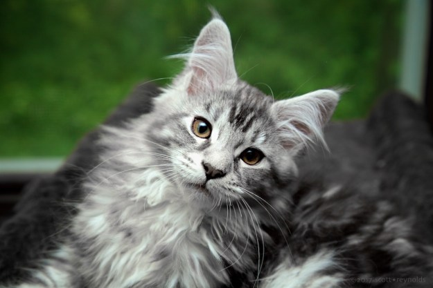 silver tabby kitten