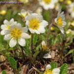 Dryas Flower