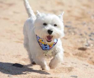 Daisy enjoys the beach at Constantine Bay.
