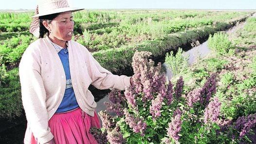 """CULTIVOS. ROSA MAMANI EXAMINA LAS PLANTACIONES DE QUINUA, CONSIDERADA """"EL GRANO DE ORO DE LOS ANDES""""."""