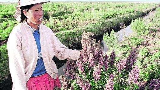 """La quinua, el """"grano de oro"""" codiciado por el mundo y que ilusiona a Bolivia"""