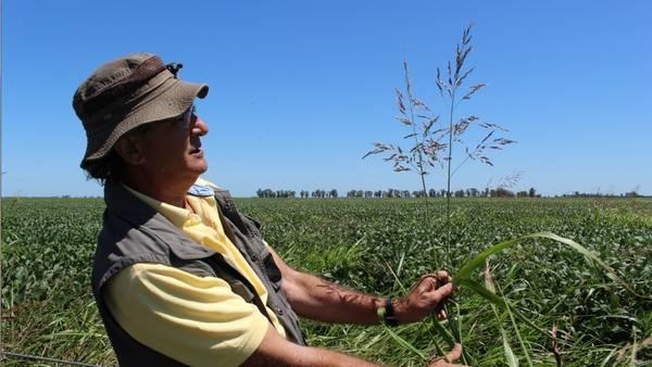 Un técnico, ante una planta de sorgo de Alepo, una de las especies más problemáticas, en un lote de soja del sur de Santa Fe, en la última campaña.
