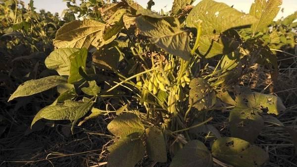 Los técnicos observan que las plantas se marchitan y se pierden vainas, entre otros daños.