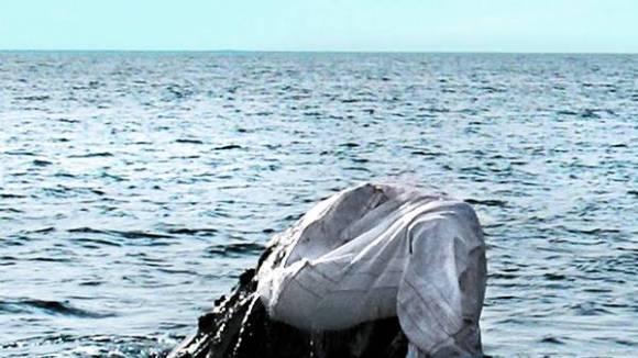 Dos gigantes. La joven ballena luchó con la enorme bolsa, que sirve para llevar unos mil kilos de arena. CARLA FIORITO