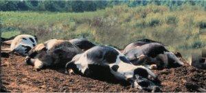 Dead Cows