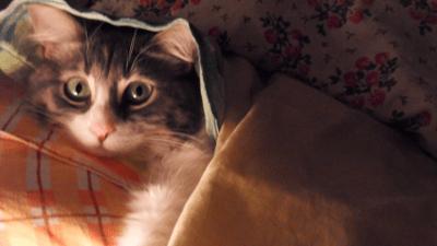 Cute cat under a blanket