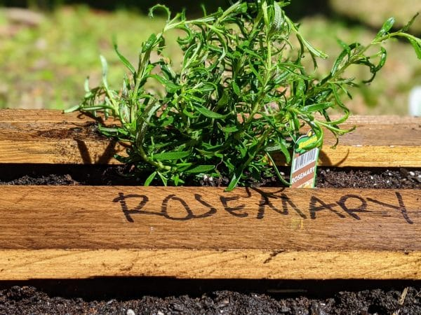 rosemary being planted
