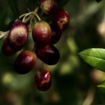 oliva caiazzana