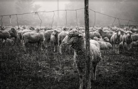 matese pecore