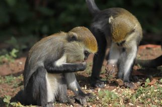 Tafi Atome Monkey Sanctuary Seeks Support To Construct Recreational Facilities