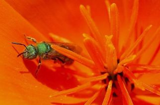 Sweat bees sometimes land on people to imbibe perspiration