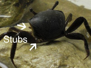 fiddler-crab-2