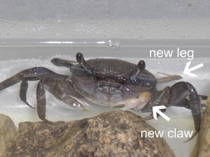 Crabs regenerate lost limbs. Now THERE'S some science for you.