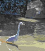 A native heron hunts for fish in a man-made pond in the San Francisco Botanical Garden