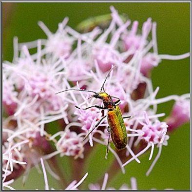 "Petit coléoptère ""chrysanthia viridissima"""